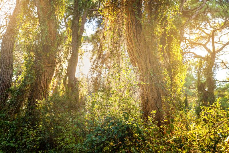 Luce solare di fine dell'estate che attraversa gli alberi fotografia stock