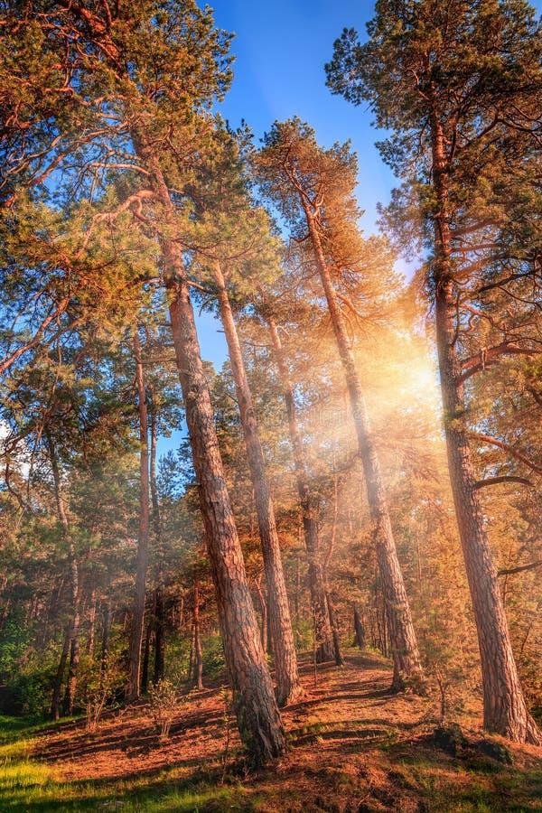 Luce solare di fine dell'estate che attraversa i pini ad una foresta mistica fotografie stock