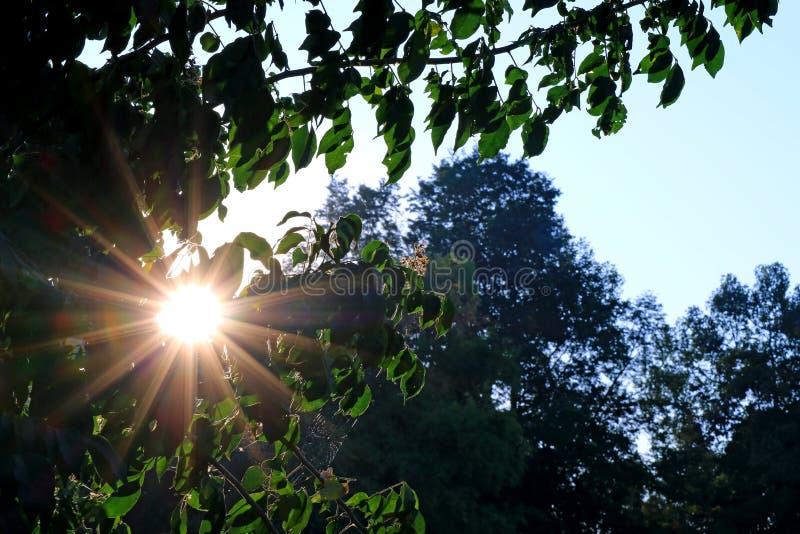 Luce solare di mattina di abbagliamento che splende attraverso il fogliame verde immagine stock libera da diritti