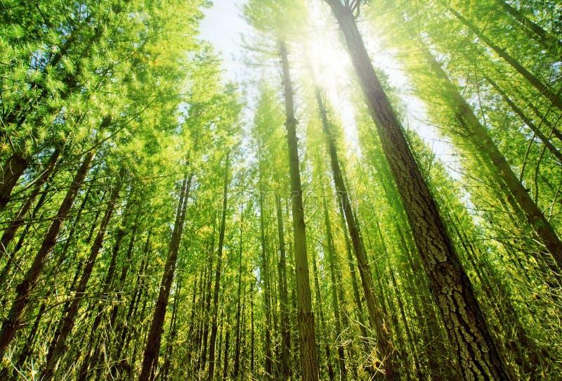 Luce solare in foresta immagine stock