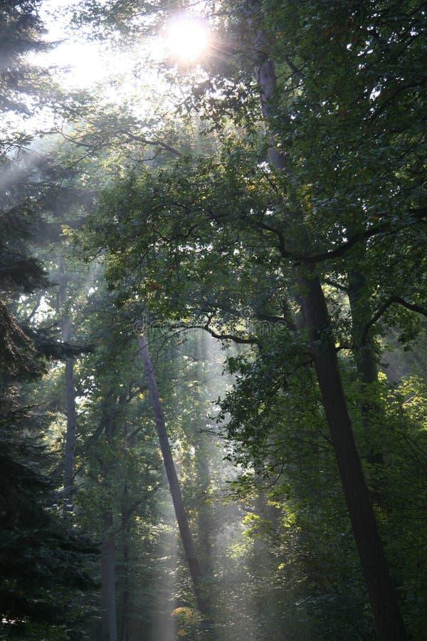 Luce solare misteriosa in una foresta olandese fotografia stock libera da diritti