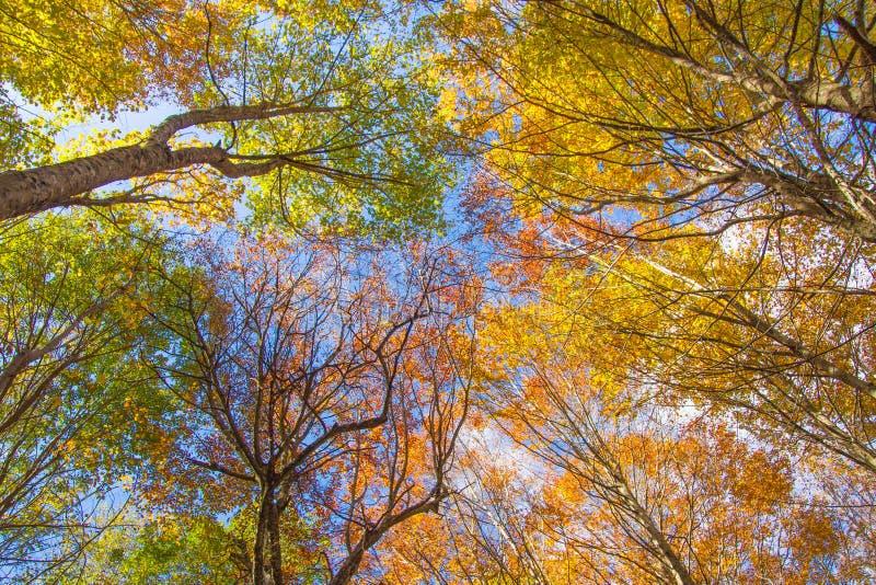 Luce solare nella foresta del faggio, natura di autunno immagine stock
