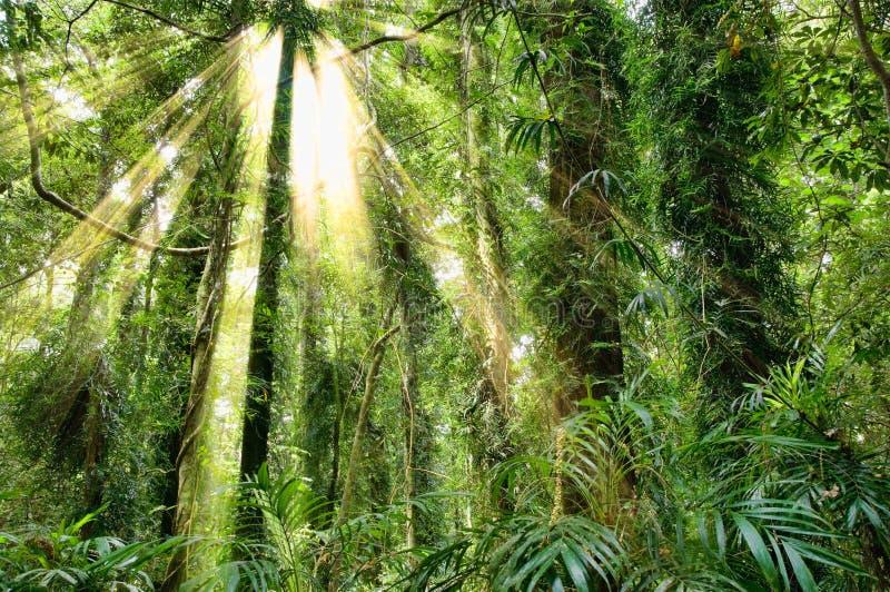 Luce solare nella foresta pluviale del patrimonio mondiale di dorrigo fotografie stock