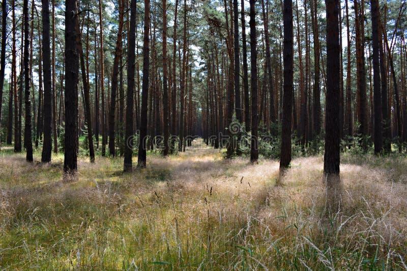 luce solare profonda della foresta fotografia stock libera da diritti