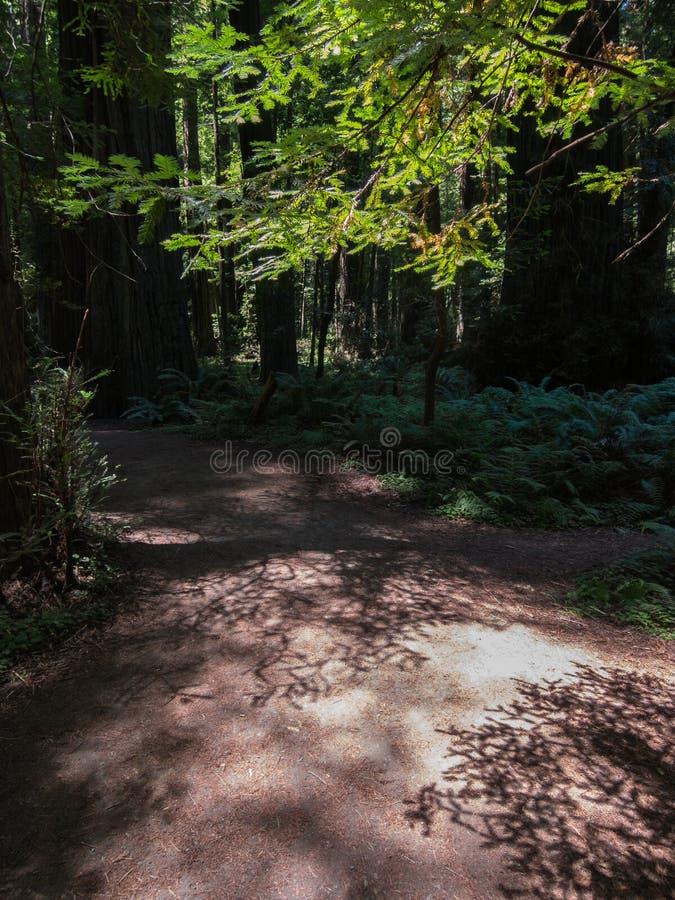 Luce su una traccia, foresta di mattina della sequoia di California immagine stock