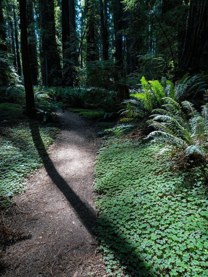 Luce su una traccia, foresta di mattina della sequoia di California immagini stock