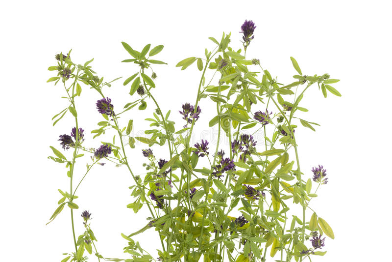 lucerne цветка стоковая фотография rf