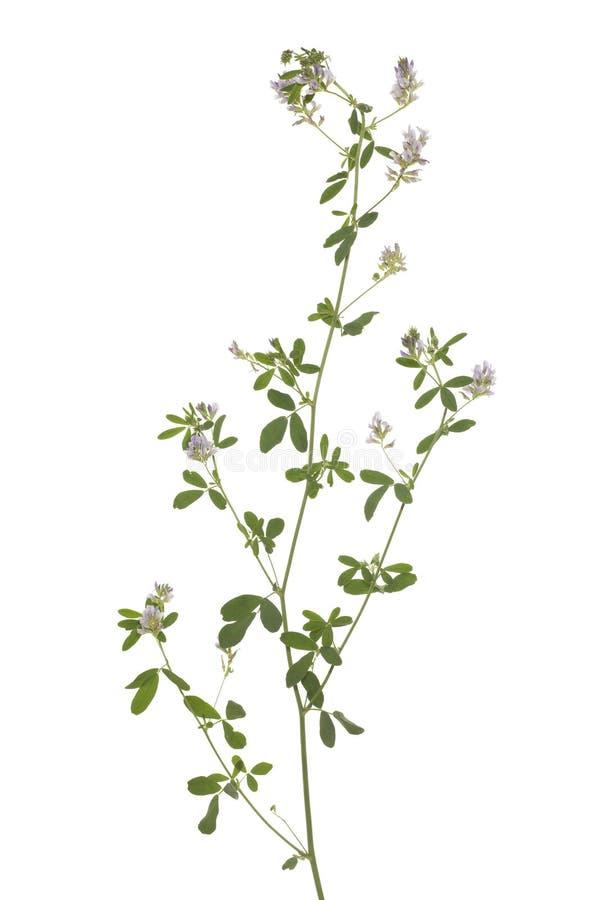 Lucerne цветка стоковое изображение rf