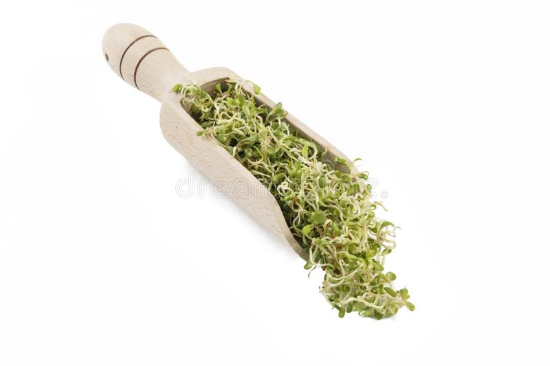 Lucerne alfalfa sprouts in wooden scoop isolated on white background. nutrition. bio. natural food ingredient royalty free stock images