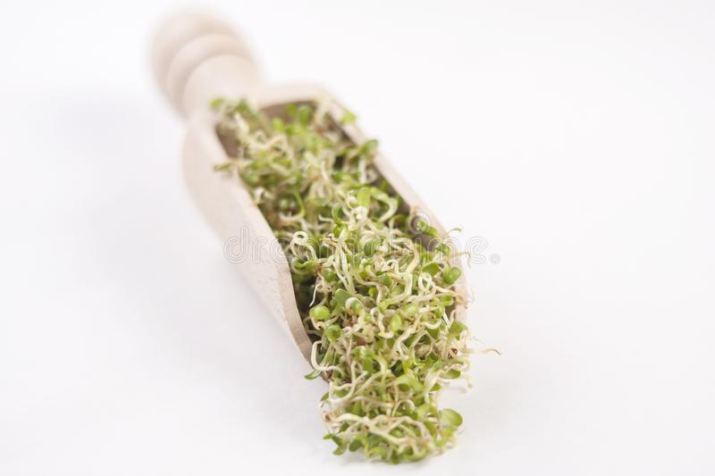 Lucerne alfalfa sprouts in wooden scoop isolated on white background. nutrition. bio. natural food ingredient royalty free stock photos