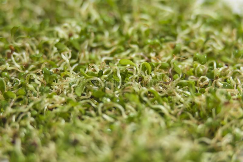 Lucerne alfalfa texture background. nutrition. bio. natural food ingredient. macro shot. shallow depth of field stock photography
