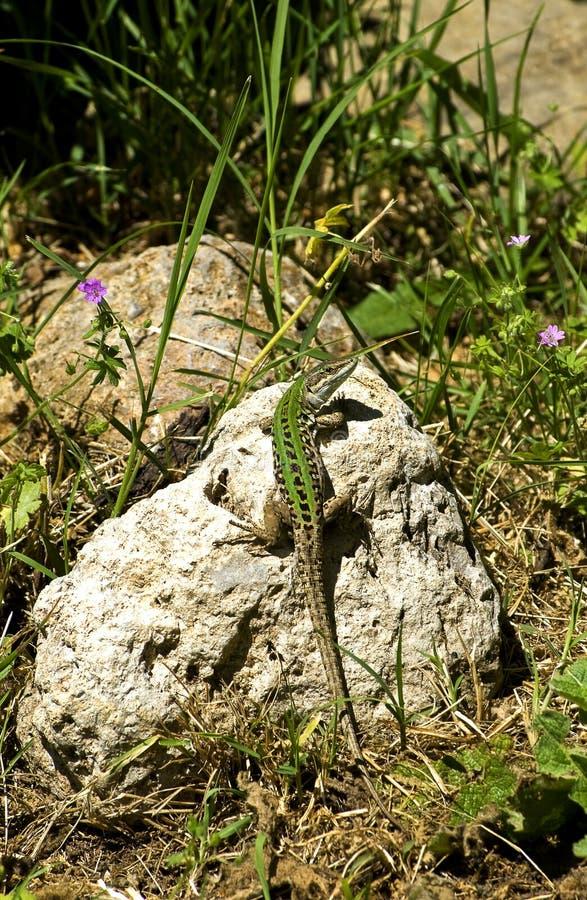 Lucertola (agilis della lacerta) che si siede su una roccia fotografie stock libere da diritti