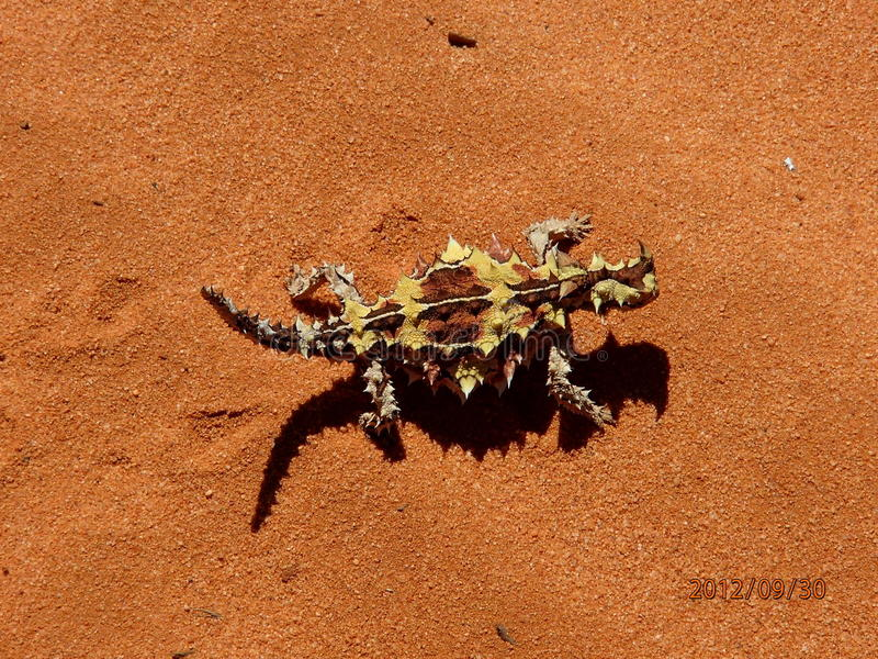 Lucertola australiana - diavolo spinoso immagine stock