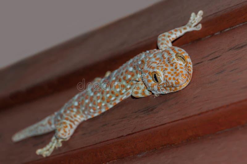 Lucertola blu ed arancio di tokee di gekko del geco di Tokay, che si siede su una parete e su un sorridere di legno immagini stock