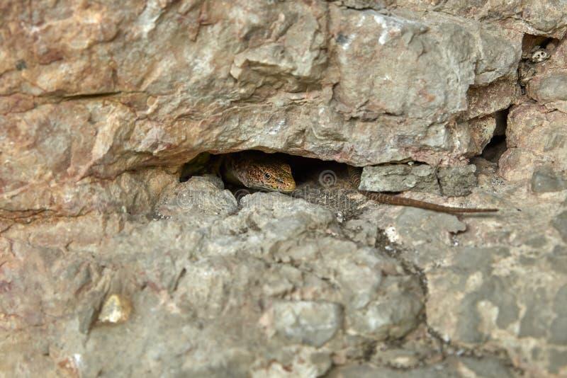 Lucertola che dà una occhiata da una crepa in una roccia fotografia stock libera da diritti