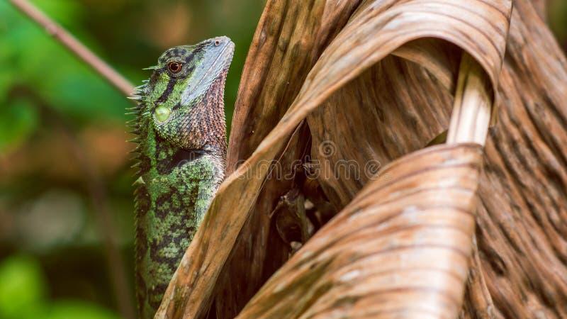 Lucertola con il ceppo, Calotes Emma su Banan Leaf, Krabi, Tailandia fotografia stock