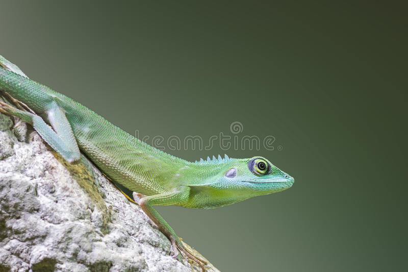 Lucertola crestata verde fotografia stock libera da diritti