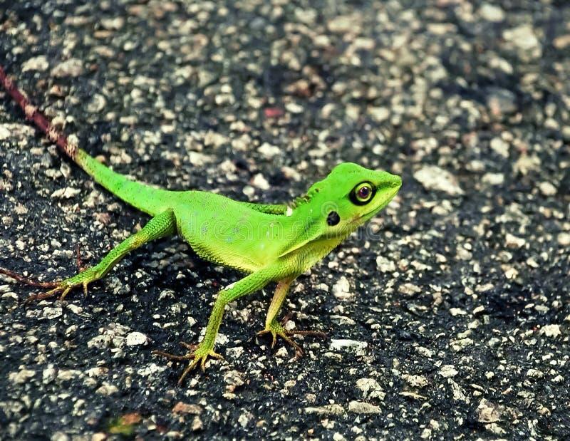 Lucertola crestata verde immagine stock libera da diritti