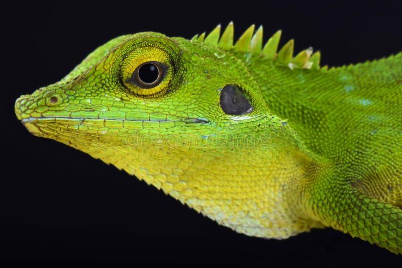 Lucertola crestata verde (cristatella di Bronchocela) fotografie stock libere da diritti