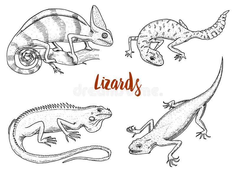 Lucertola del camaleonte, iguana verde americana, rettili o serpenti o geco a coda adiposa macchiato specie erbivore Vettore royalty illustrazione gratis