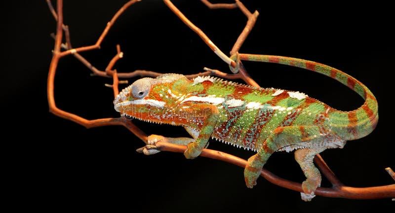 Lucertola del Chameleon immagine stock