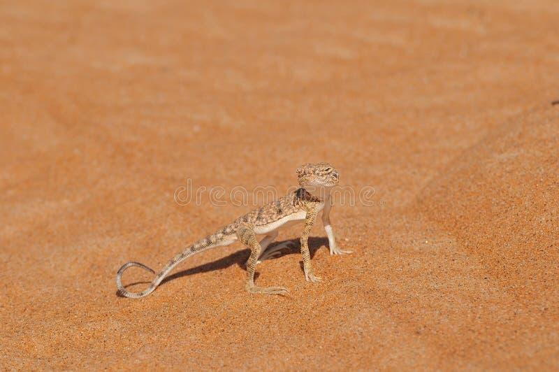 Lucertola del deserto fotografia stock