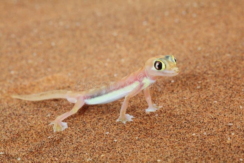 Lucertola del gecko di Palmato nel deserto di Namib, Namibia fotografia stock libera da diritti