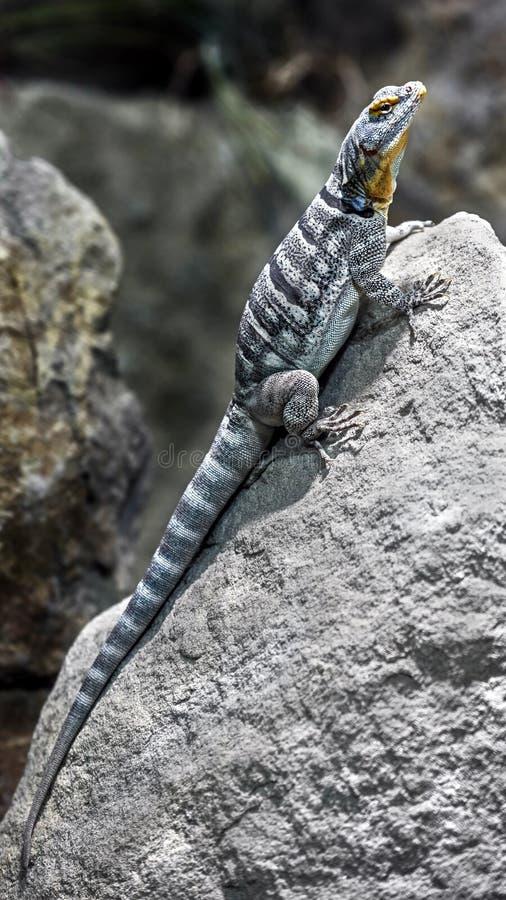 Lucertola della roccia blu di Baja immagine stock