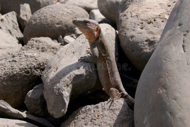 Lucertola delle isole Canarie selvaggia immagini stock libere da diritti