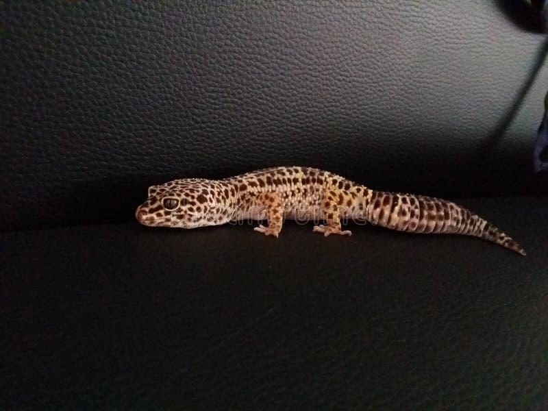 Lucertola di leopardo sliping animale del geco immagine stock