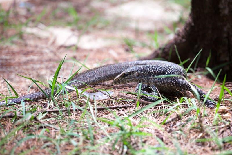 Lucertola di monitor del Bengala che si siede sulla terra vicino all'albero nella foresta sul fondo dell'erba verde sull'isola in fotografia stock libera da diritti