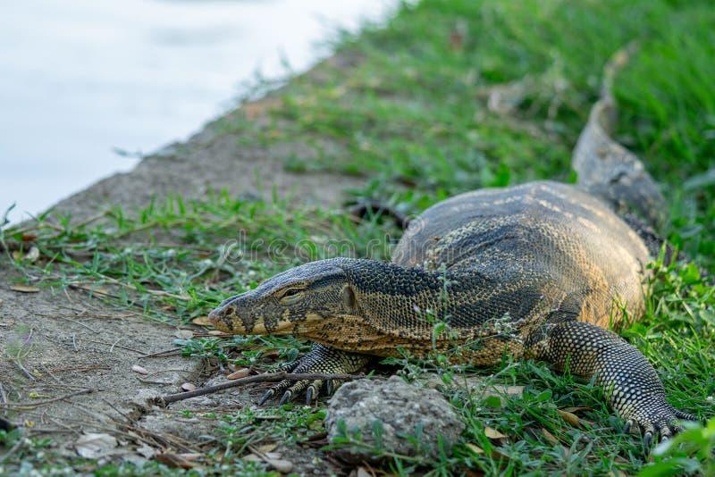Lucertola di monitor sulla fine del fondo della natura della riva del fiume di messa a terra di thr sull'immagine fotografie stock libere da diritti