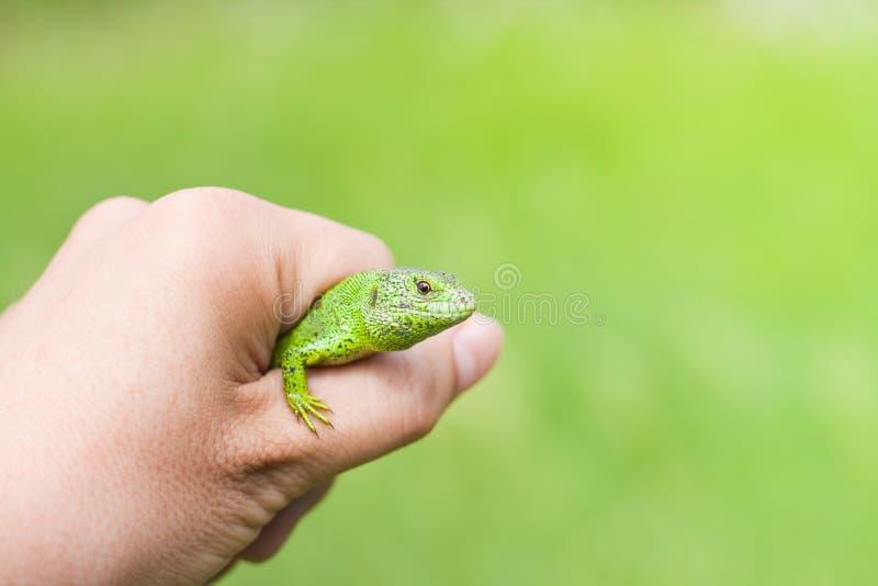 Lucertola di sabbia verde in una mano sul fondo verde intenso dello spazio libero, maschio nella coloritura di stagione di accopp immagini stock