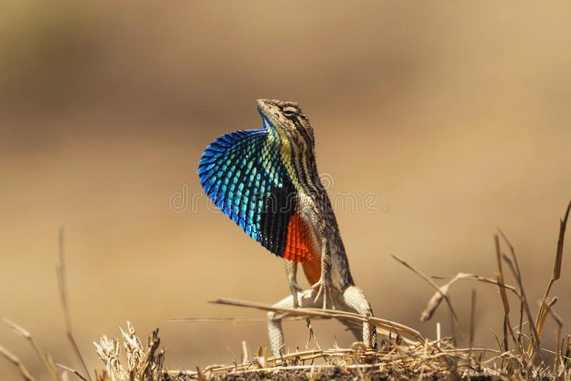 lucertola Fan-throated, ponticeriana di Sitana, Talegoan, maharashtra, India fotografia stock libera da diritti