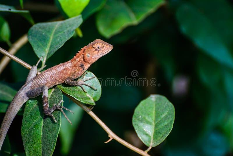 lucertola marrone spaventosa del camaleonte fotografie stock libere da diritti