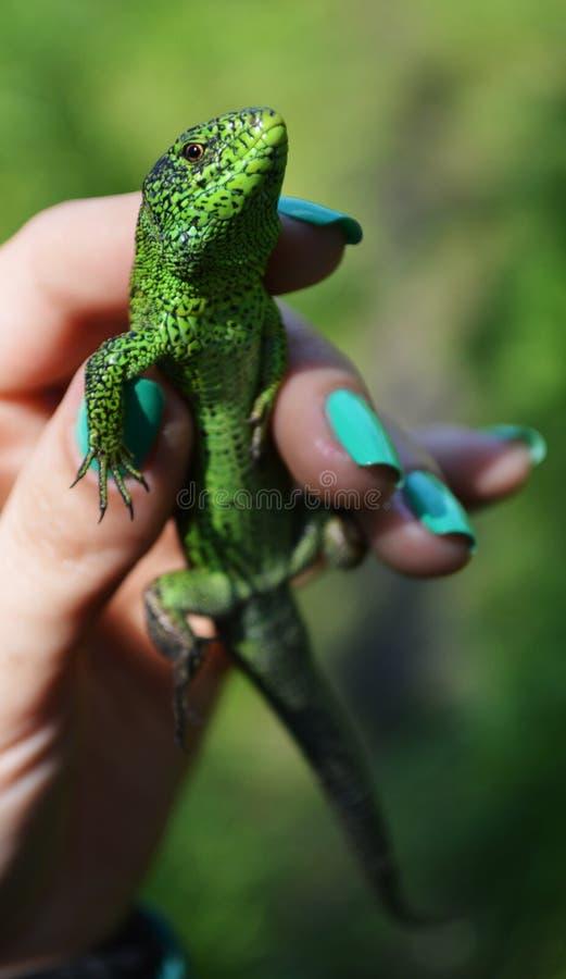 Lucertola o lacertian verde nella mano del ` s della ragazza con smalto verde immagini stock
