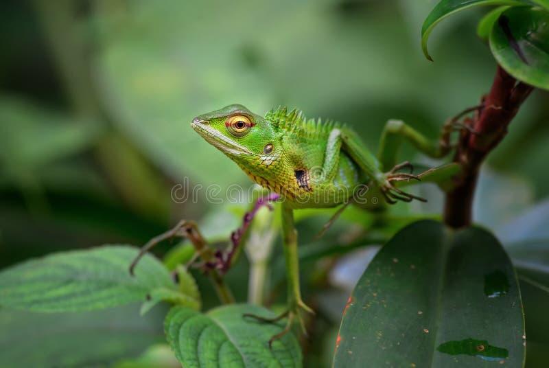 Lucertola orientale del giardino - Calotes Versicolor immagini stock