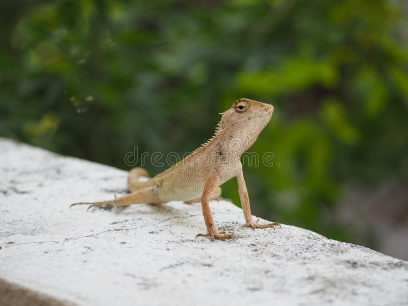 Lucertola, piccola iguana fotografie stock
