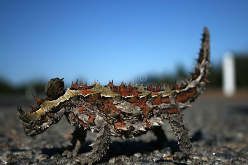 Lucertola spinosa del diavolo, Australia fotografia stock
