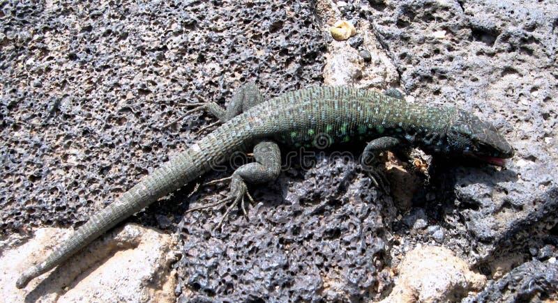 Lucertola stanca, isole delle isole Canarie, Spagna immagine stock
