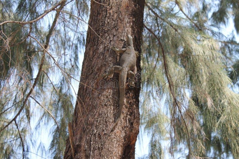Lucertola sull'albero sulla spiaggia della Tailandia fotografia stock libera da diritti