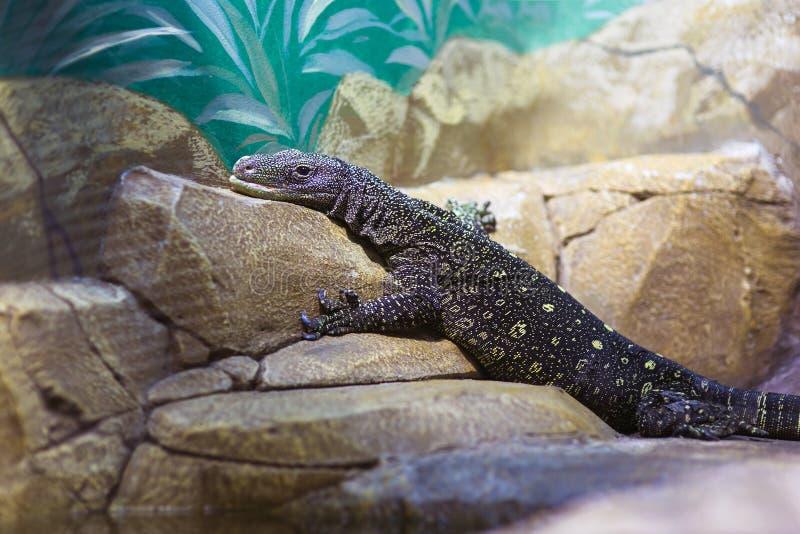 Lucertola in un terrario allo zoo fotografie stock libere da diritti