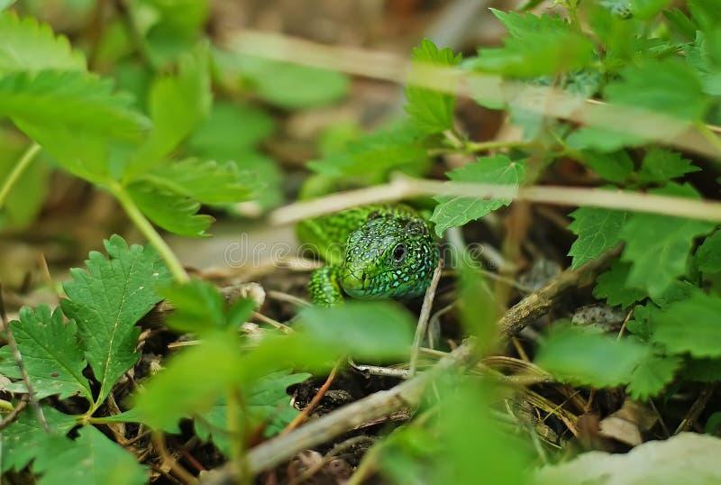 Lucertola verde immagine stock