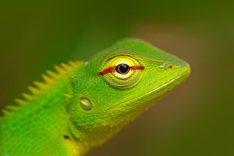 Lucertola verde del giardino, calotes di Calotes, ritratto dell'occhio del dettaglio dell'animale tropicale esotico nell'habitat  fotografie stock libere da diritti