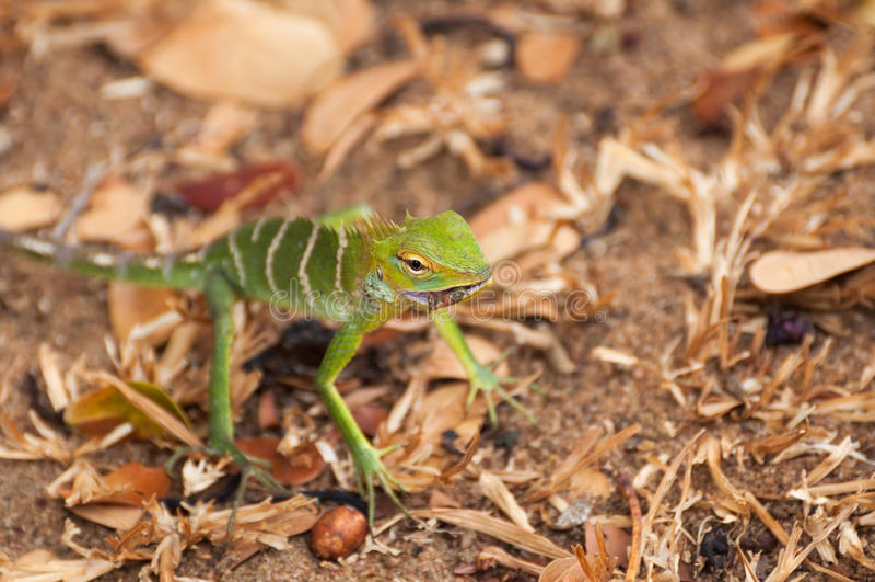 Lucertola verde della foresta o calotes calotes che mangia - Immagine di lucertola a colori ...