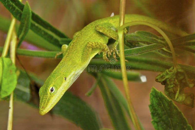Lucertola verde di Anole fotografie stock