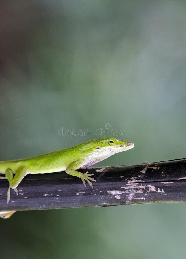 Lucertola verde di Anole del camaleonte, Georgia U.S.A. immagine stock libera da diritti