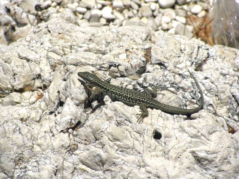 Lucertola verde esile che prende il sole su una roccia in Croazia fotografie stock