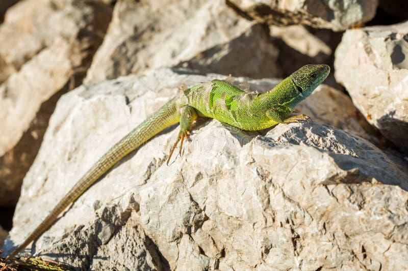 Lucertola verde - i viridis della lacerta sparge la sua pelle fotografia stock libera da diritti