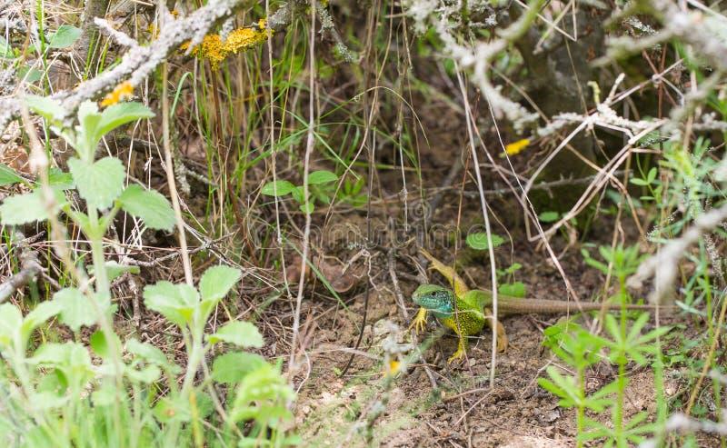 Lucertola verde maschio su terra fotografia stock libera da diritti